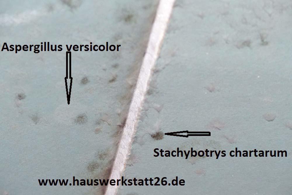Sandkrug-Stachybotrys-chartanum-Aspergillus-versicolor-Schimmel-Schimmelpilzbelastung-Rigips